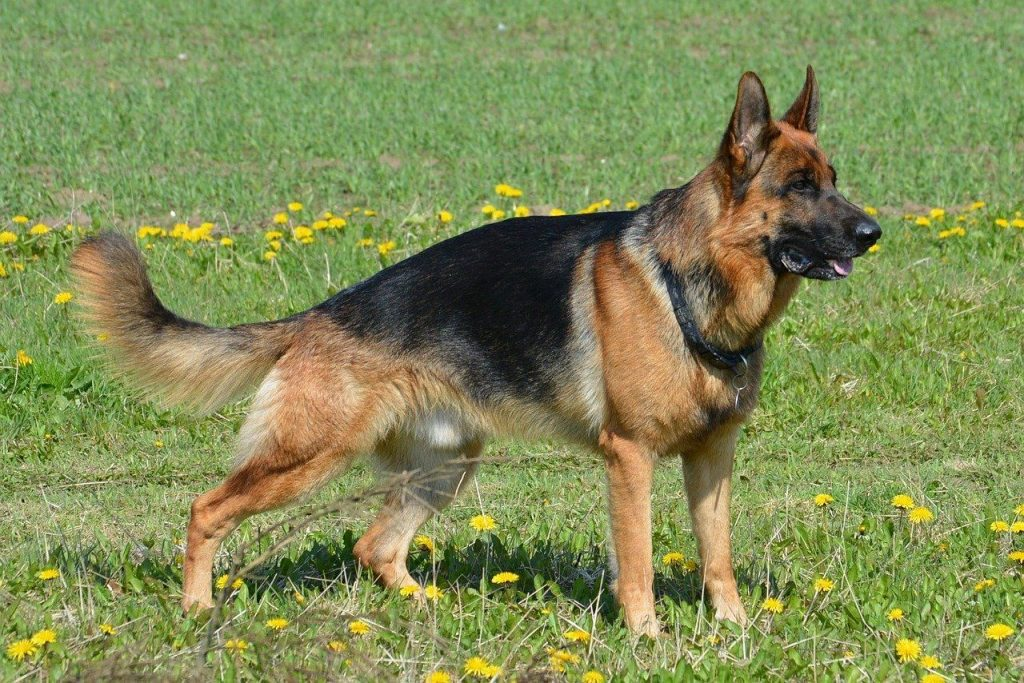 breeds of dog that are the smartest