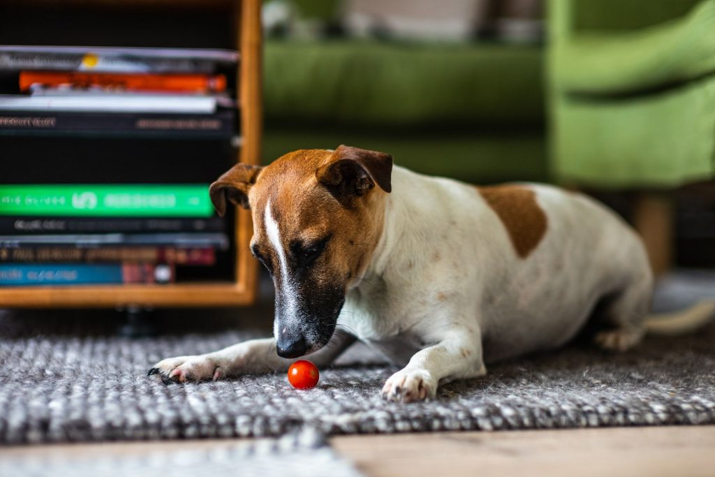 Can Dogs Have Tomatoes