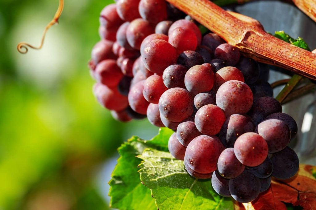 Can Dogs Have Red Grapes
