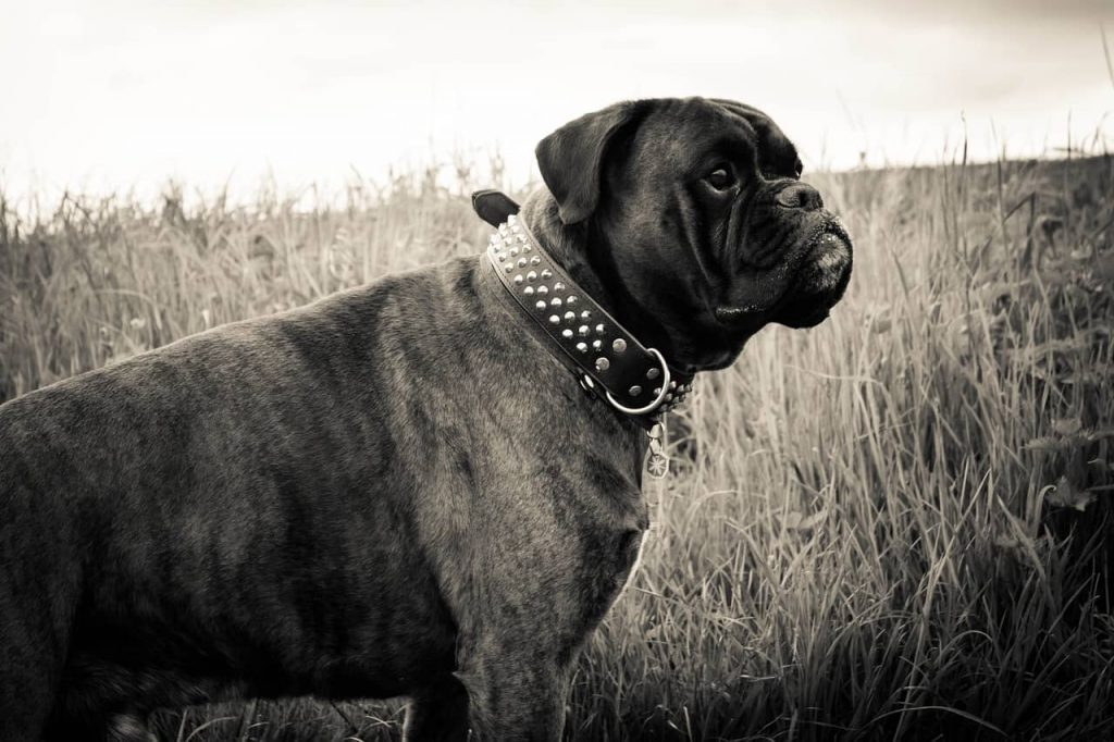 most expensive dog collars